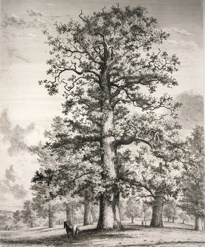 Engraving of the Fredville Oaks
