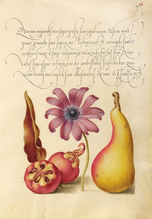 Medlar, Poppy Anemone, and Pear
