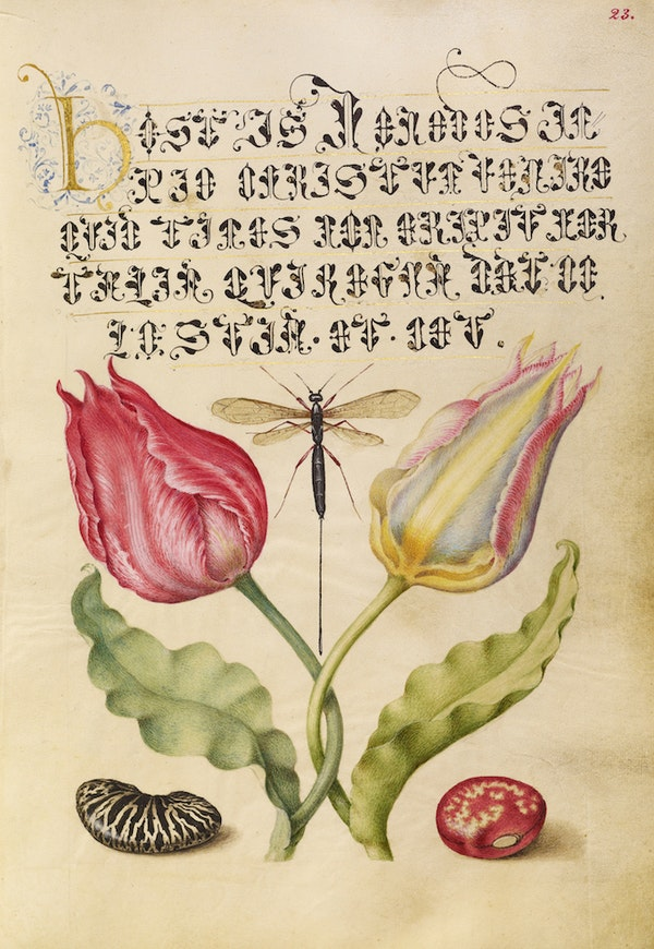 Tulips, Fly, Kidney Bean, and Bean