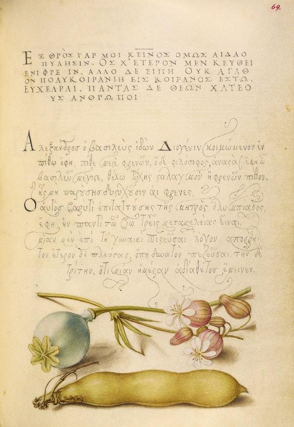 Opium Poppy, Bladder Campion, and Broad Bean