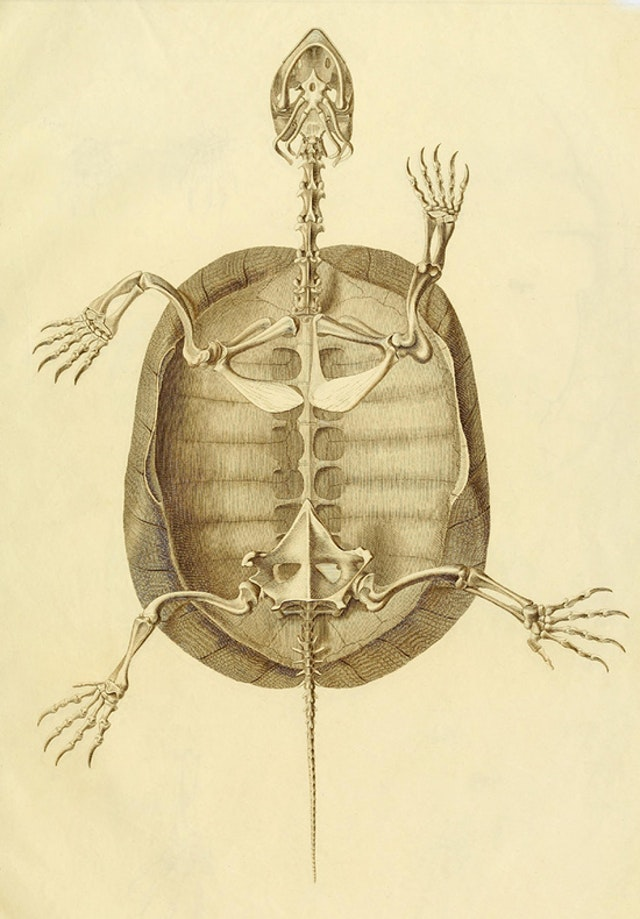 Turtle Anatomy (1821)