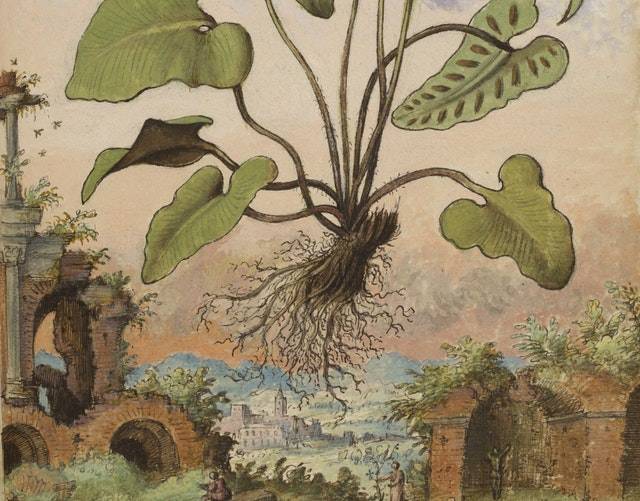 Watercolours from a 16th-Century De Materia Medica