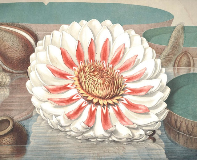 William Sharp's Chromolithographs of The Great Water Lily (1854)