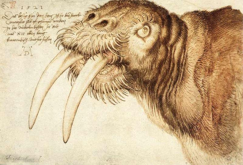 durer walrus