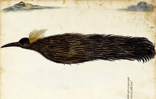 Fallen Angels: Birds of Paradise in Early Modern Europe