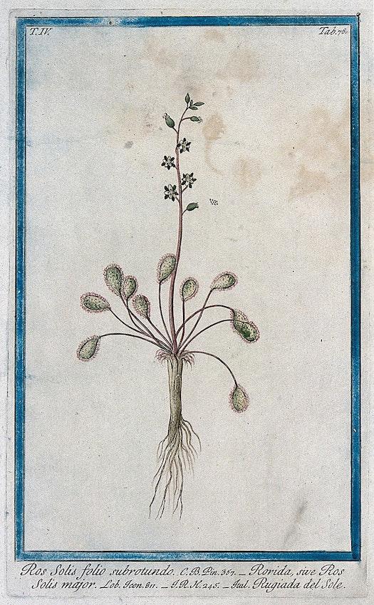sundew botanical illustration