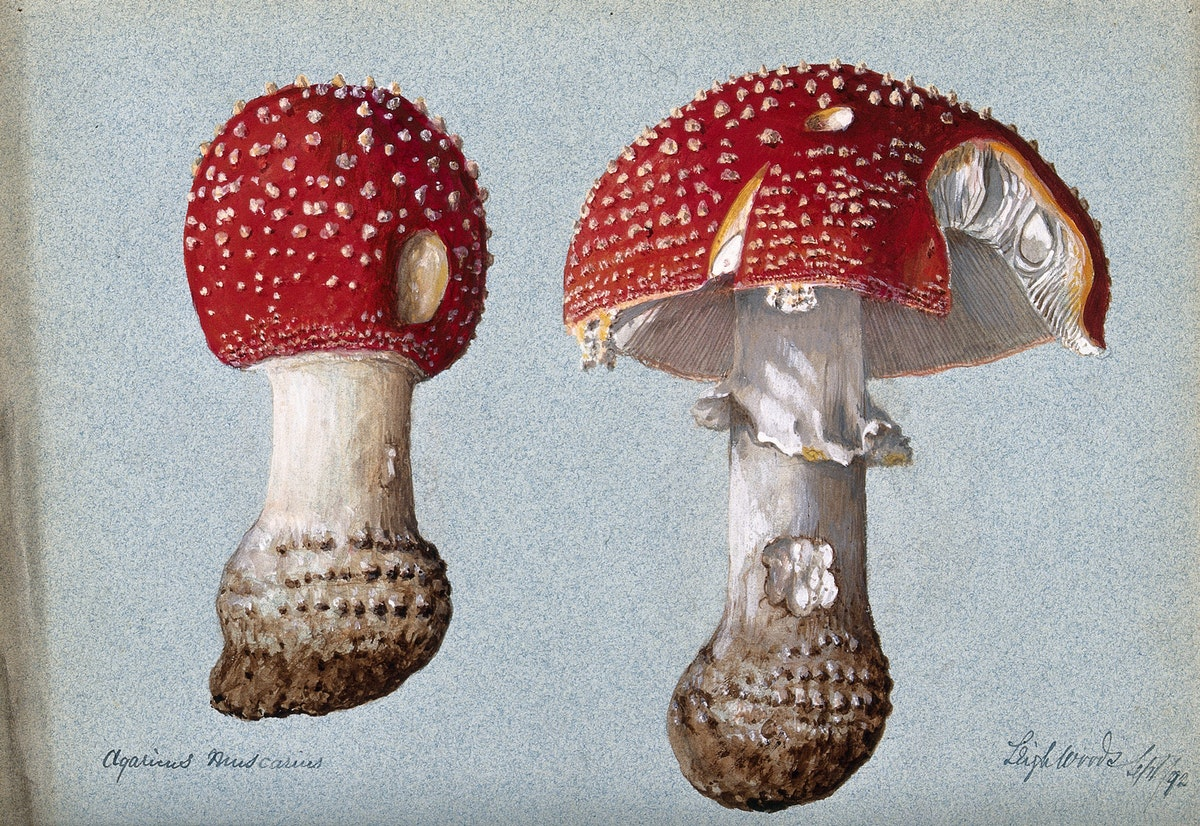 fly agaric illustration
