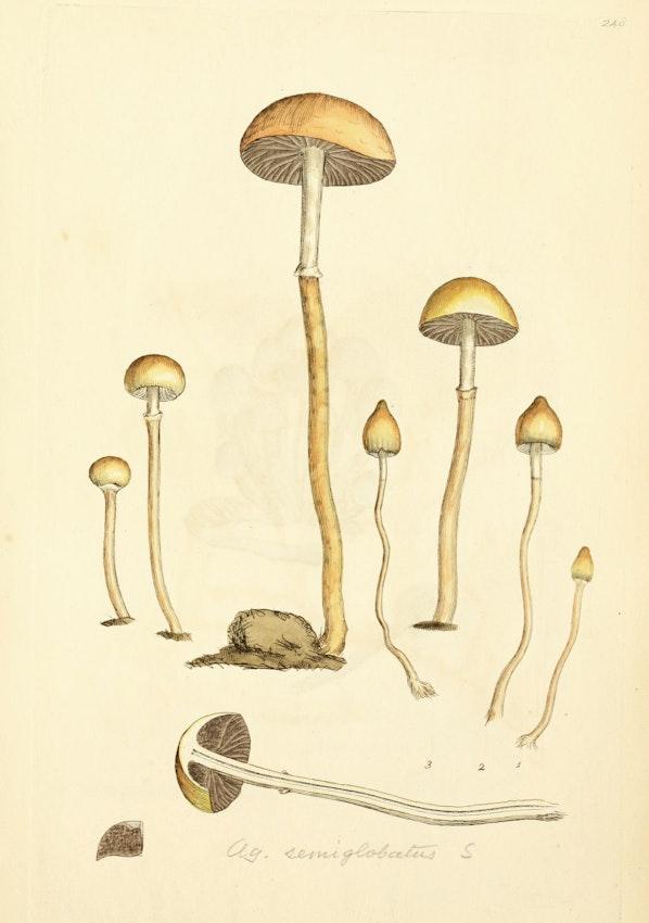 James Sowerby mushroom