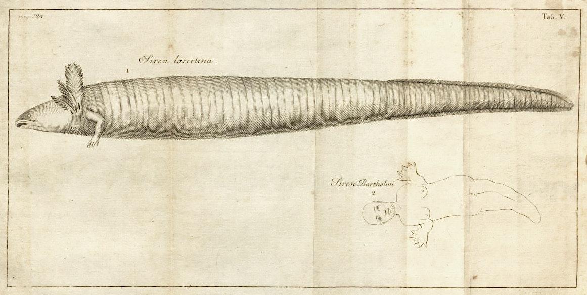 Carl Linnaeus mermaid illustration
