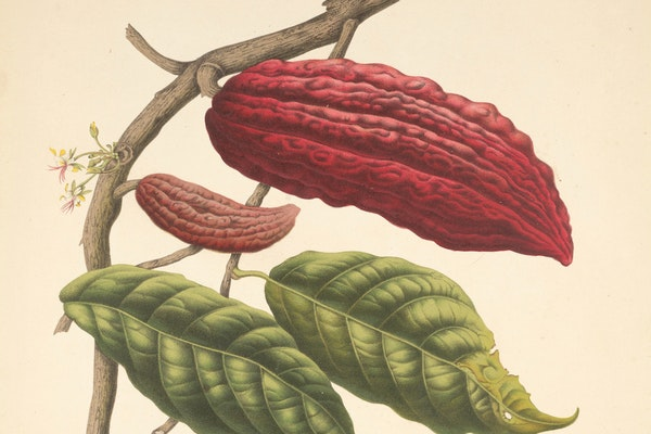 Pods, Pots, and Potions: Putting Cacao to Paper in Early Modern Europe