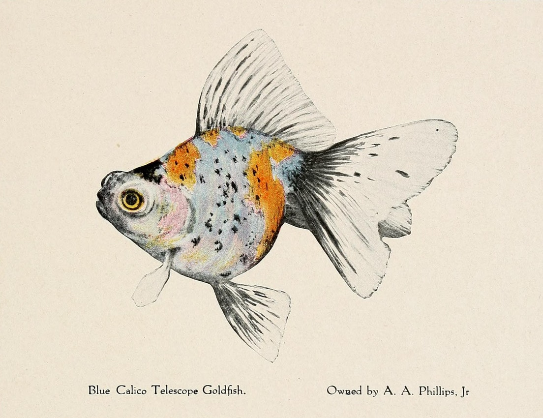 blue goldfish