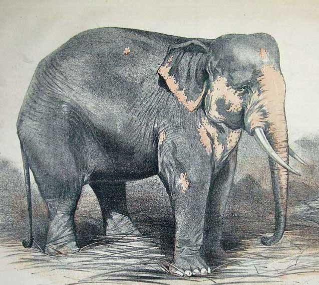 barnum white elephant