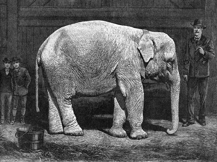 forepaugh white elephant