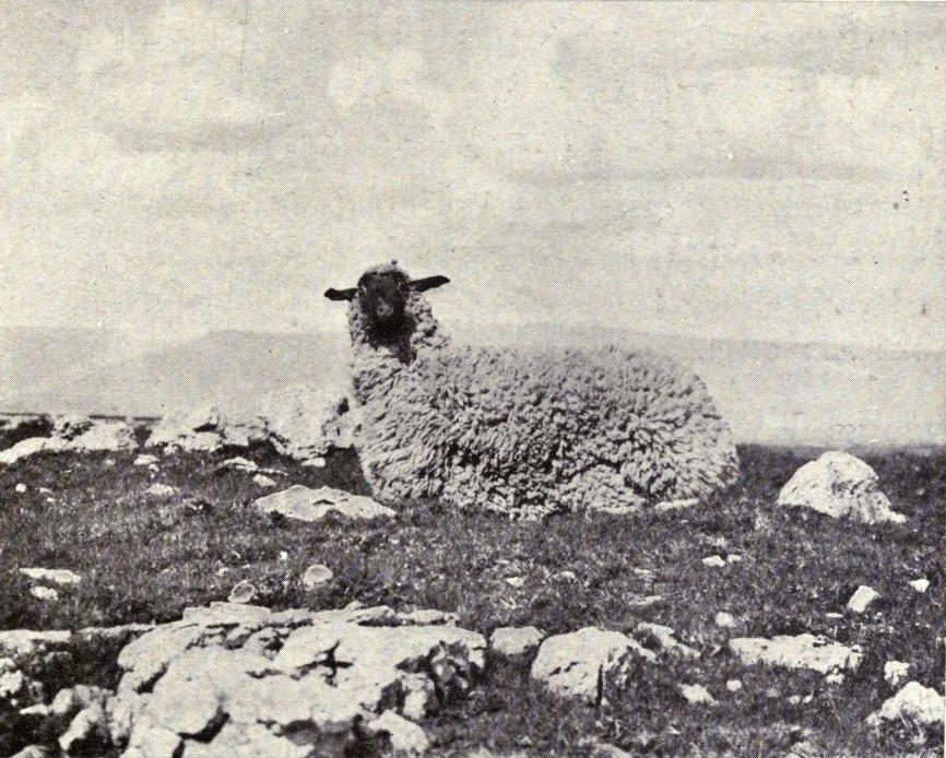 stuffed sheep kearton