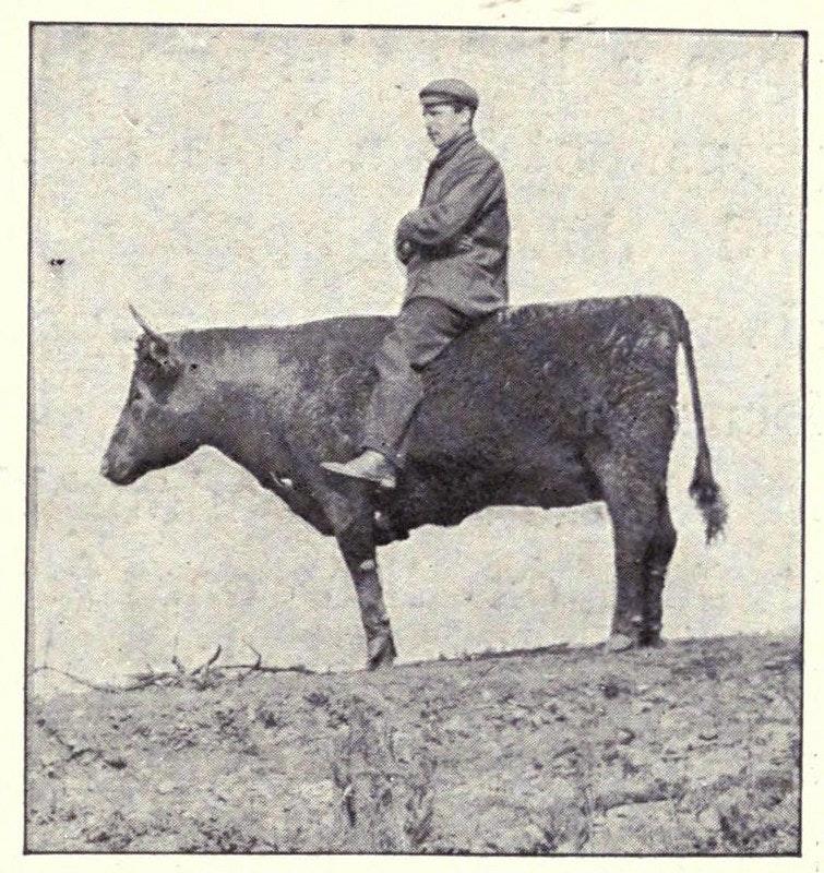 kearton stuffed ox