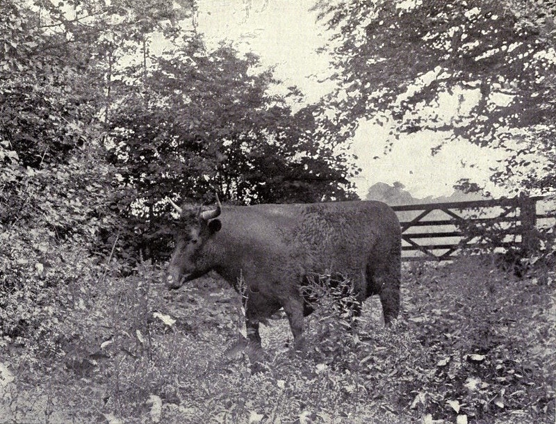 stuffed ox kearton