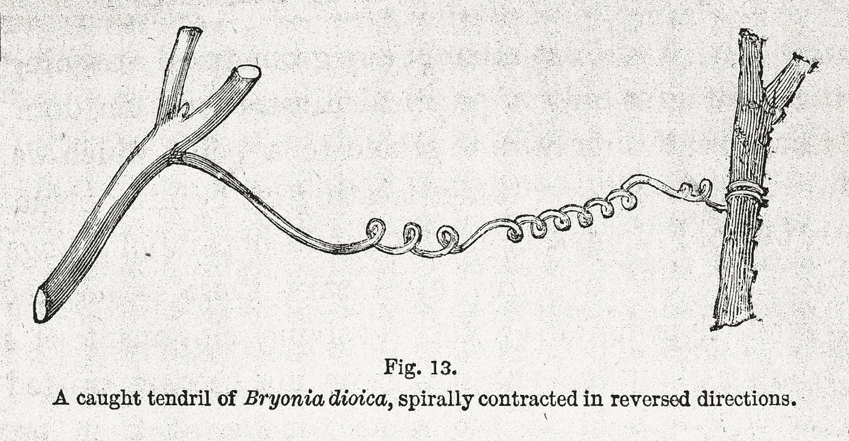 """Illustration from Darwin's """"On the Movements and Habits of Climbing Plants"""""""