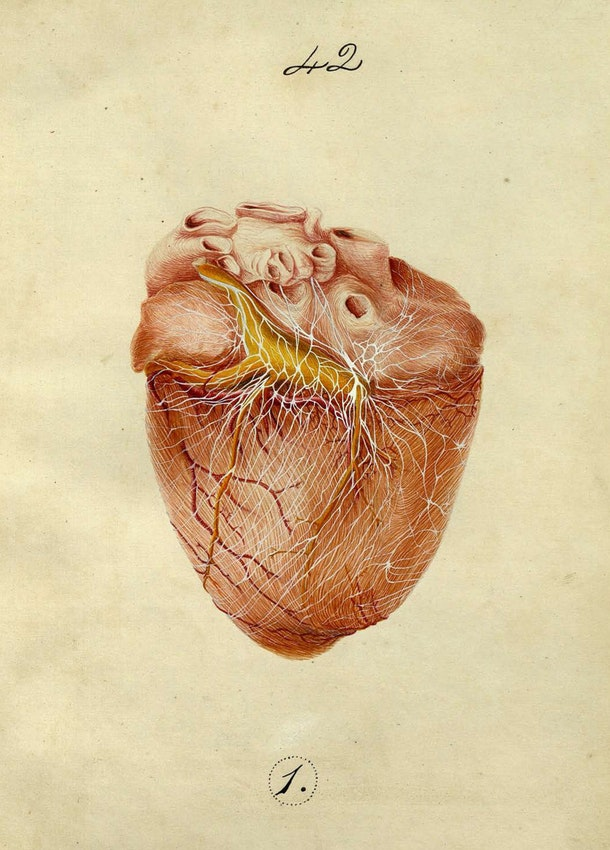 Dissection illustration from Pettigrew's thesis on the Arrangement of the cardiac nerves. . . in mammalia