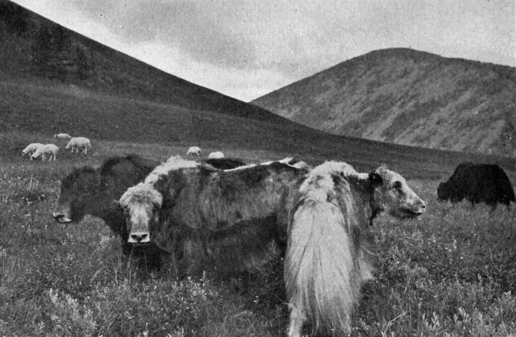 mongolia yaks