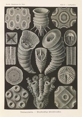 Plate 29, Tetracoralla