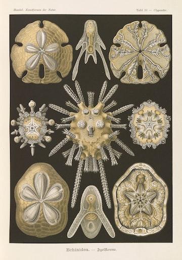 Plate 30, Echinidea