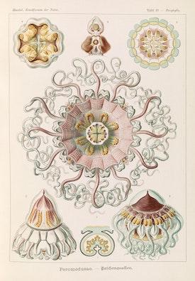 Plate 38, Peromedusae