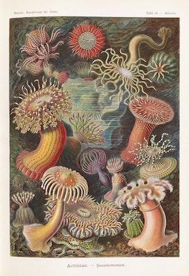 Plate 49, Actiniae