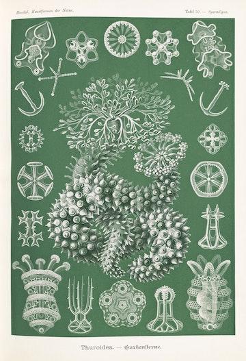Plate 50, Thuroidea