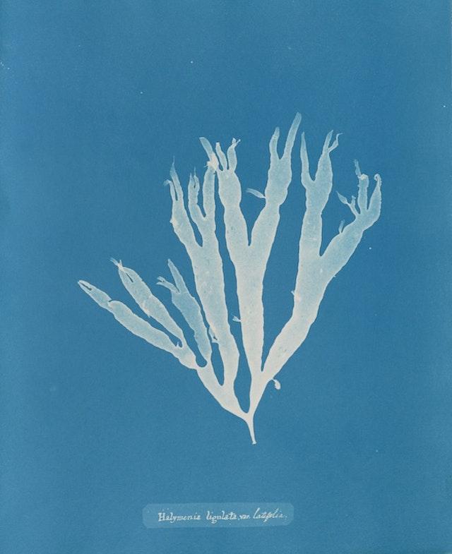 Halymenia ligulata var. latifolia