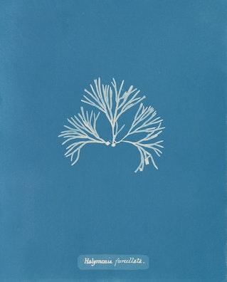Halymenia furcellata