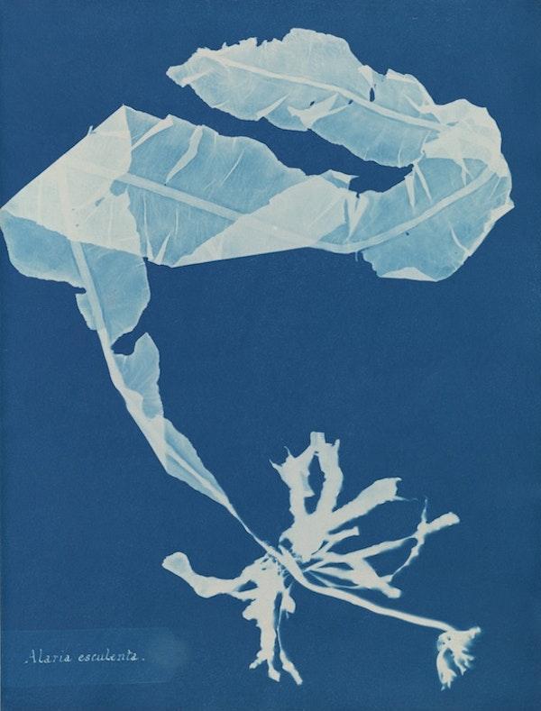 anna atkins algae cyanotype