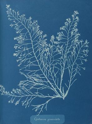 Cystoseira granulata