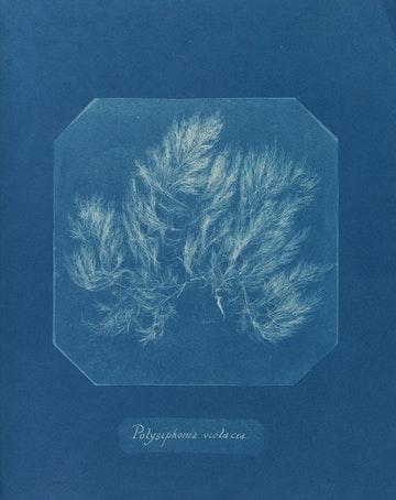 Polysiphonia violacea