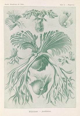 Plate 52, Filicinae