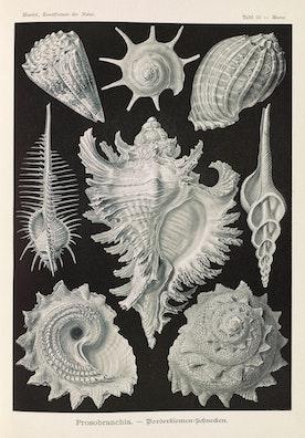 Plate 53, Prosobranchia