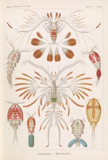 Plate 56, Copepoda