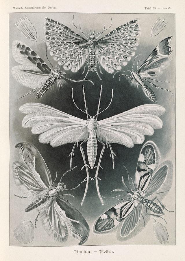 Plate 58, Tineida
