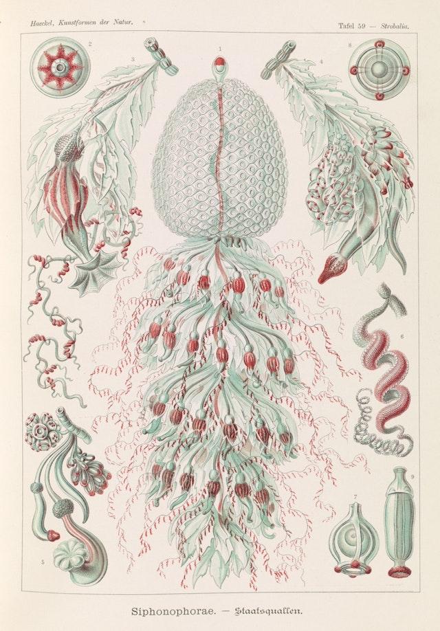 Plate 59, Siphonophorae