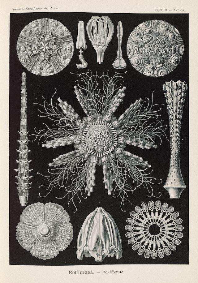 Plate 60, Echinidea