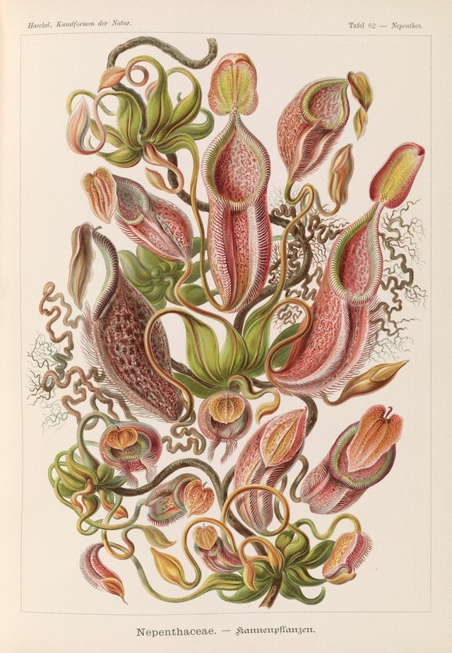 Plate 62, Nepenthaceae