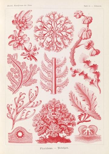Plate 65, Florideae