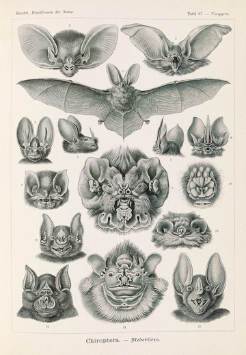 Plate 67, Chiroptera