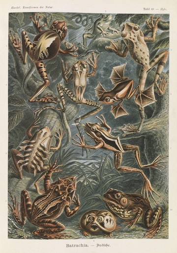 Plate 68, Batrachia