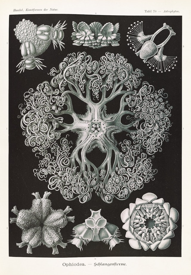 Plate 70, Ophiodea