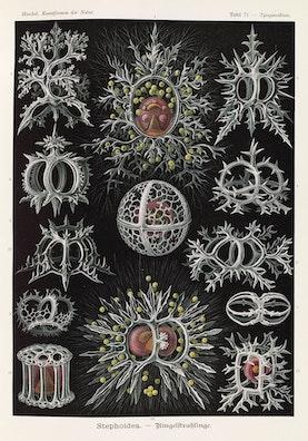 Plate 71, Stephoidea