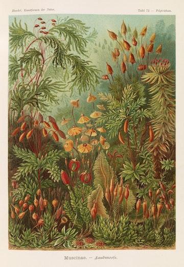 Plate 72, Muscinae