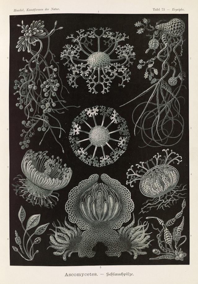 Plate 73, Ascomycetes