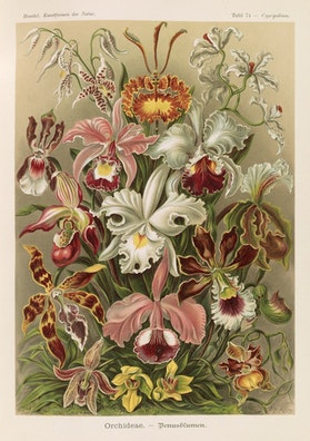 Plate 74, Orchideae