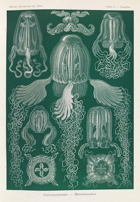 Plate 78, Cubomedusae
