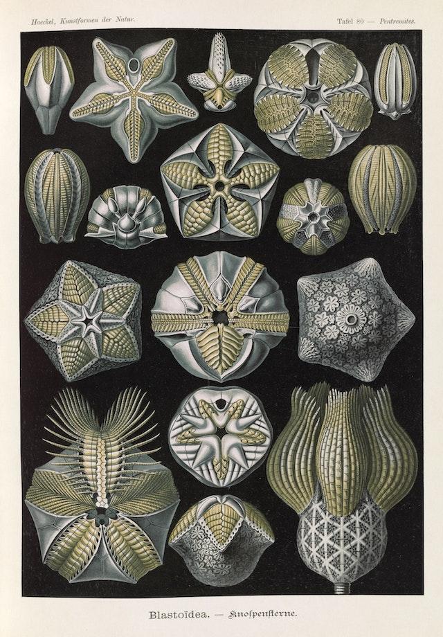 Plate 80, Blastoidea